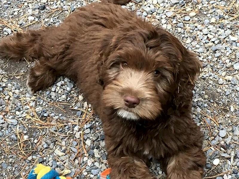 Labradoodle Breeder Alberta | Puppy Heaven Labradoodles